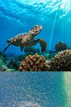 El trabajo de conservación y protección animal da sus frutos 👏🏻 Turtle, Animals, Great Barrier Reef, Sea Turtles, Roof Design, Water Animals, Cook, Nature, Recipes