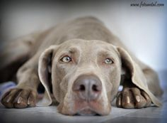 weimaraner  This looks like my Beau