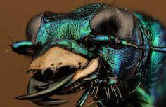 tiger beetle    Flickr - Photo Sharing!