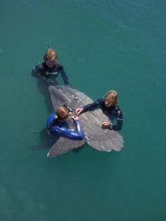 Ocean sunfish in Cape Town freed by Two Oceans Aquarium staff