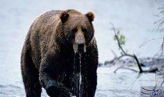 رومانيا توقف صيد الدببة البنية والذئاب والقطط…: قامت رومانيا بوقف عمليات صيد الدببة البنية والذئاب والقطط البرية حيث ألغت وزارة البيئة…