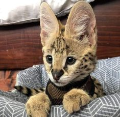Look at the ears on this baby serval kitty! Pretty Cats, Beautiful Cats, Animals Beautiful, Cute Cats, Funny Cats, Cute Baby Animals, Animals And Pets, Funny Animals, Serval Cats