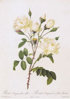 Bouquet Of White Roses D'Amour Rose Redoute Flower Botanical 11X17 Poster