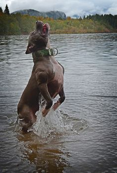 Uplifting So You Want A American Pit Bull Terrier Ideas. Fabulous So You Want A American Pit Bull Terrier Ideas. Pit Bulls, Amstaff Terrier, Pitbull Terrier, Dogs Pitbull, Bull Terriers, Beautiful Dogs, Animals Beautiful, Cute Animals, Animals Dog