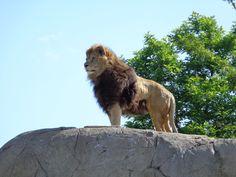 Wat een voltreffer:de leeuw in Wildlands, Adventure Zoo Emmen in vol ornaat.