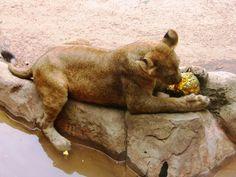 La leona degusta la carne y luego utiliza la calabaza como balón de juego.
