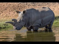 What's it like to work with the rarest rhino in the world?