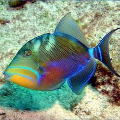 Beautiful fish... Queen triggerfish ... I think!