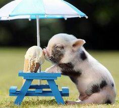 Little pig eating ice cream