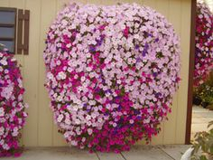 Petunias-wonder if I can get mine to grow this big since we aren't vacationi. - About Garden and Flowers Container Plants, Container Gardening, Gardening Tips, Flower Gardening, Home Flowers, Beautiful Flowers, Garden Planters, Garden Gate, Plants For Hanging Baskets