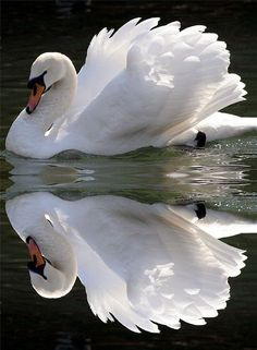 "klaravelez: ""  Beautiful swan and it's reflection """