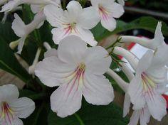 Streptocarpus 'Alison'
