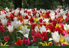 "Dutch Tulips.  Color!!  Check www.tuinschilderijen.nl and hit the botton ""flowers"""