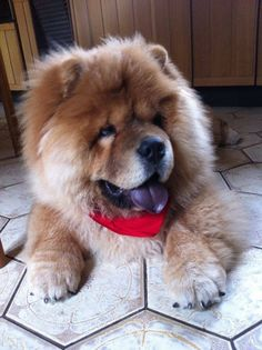 Cute brown chow chow puppy... Click the pic for more #awww