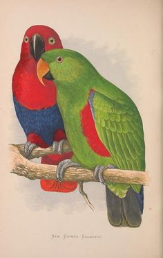 New Guinea Eclectus. Parrots in captivity v.3  London :George Bell and Sons,1884-1887 [i.e. 1883-1888]  Biodiversitylibrary. Biodivlibrary. BHL. Biodiversity Heritage Library