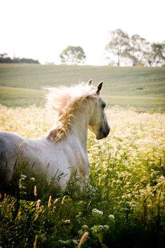 Häst dröm