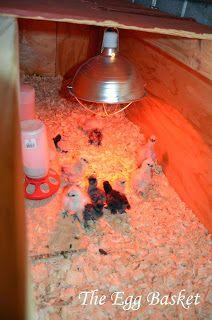 Hatching in Winter & an Outdoor Brooder~ The Egg Basket Backyard Farming, Backyard Chickens, Incubating Chicken Eggs, Egg Basket, Outdoor Crafts, Small Farm, Raising Chickens, Livestock, Pet Care
