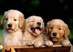 """What's that big, fluffy smile on four legs heading this way? Why, it's the wonderful Golden Retriever! Eliciting the greatest qualities """"man's best friend"""" has to offer, the Golden Retriever . Cute Puppies, Cute Dogs, Dogs And Puppies, Labrador Puppies, Doggies, Beagle Puppy, Newborn Puppies, Funny Dogs, Dogs 101"""