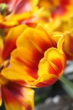 firey tulip by casper1830