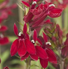 Lobelia red velvet
