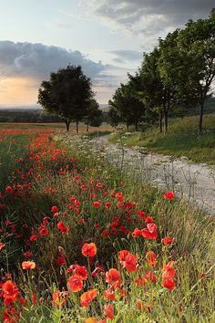 The poppies, path and trees all meander onwards in the summer evening light in this field in the heart of North Yorkshire.