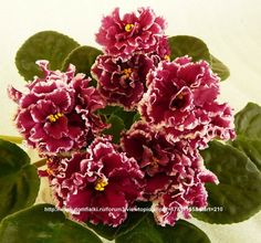 "African Violet  ""Le Madgenta"" New Ukrainian Variety 