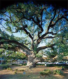 lafayette louisiana   mnartists.org   Jeff Krueger   Cathedral Oak, Lafayette, Louisiana