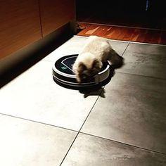 Ryszard odkurza 🐅 Ten kociak ma cztery miesiące i już potrafi sam obsługiwać odkurzacz, dziś sprzątanie zaczął skoro świt 😀 To jedyny domownik, który sam bez proszenia zabiera się do sprzątania 💛... Home Appliances, Instagram, House Appliances, Appliances