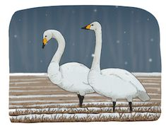 Talviseurannan lajit Swan, Bird, Animals, Animales, Animaux, Swans, Birds, Animal, Birdwatching