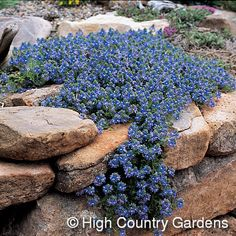 "For west facing planter -  Veronica pectinata -Blue Woolly Speedwell, 2"" x 18"" wide, gray-green carpet with early spring long blooming blue to lavander flowers. Available at High Country Gardens or Digging Dog Nursery (mail order nurseries)"