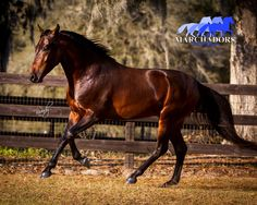Mangalarga Marchador Stallion - Gaited Horse at Stud - Cheveyo do MManor