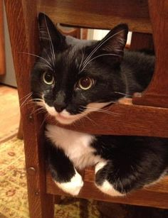 Ted the Office Cat #tuxedocatbreeds - See more Tuxedo Cats Facts at Catsincare.com