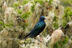 A Cape Glossy Starling of Bucklands. Private Games, Game Reserve, Starling, Cape, Africa, Bird, Photography, Animals, Mantle