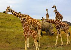 giraffe/rhino