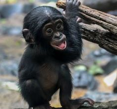 Baby bonobo <3