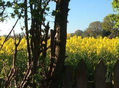 Heatley rape seed field. X