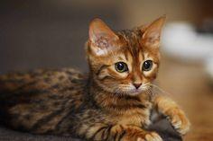 Bengal Cat - Smartest Cat Breed