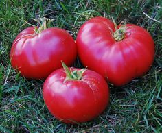 Mexico Tomato ~   Solanum lycopersicum