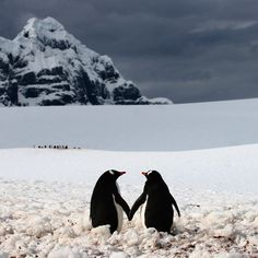 A penguin couple appear to be holding hands. The moment was captured on camera by professional photographer Silviu Ghetie in Port Lockroy - a natural harbour in the Antarctic Peninsula