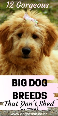 Big dogs that don't shed. Top 10 gentle giant beautiful teddy bears that won't leave you home looking like a fur ball! Best Big Dog Breeds, Dog Breeds That Dont Shed, Top Dog Breeds, Non Shedding Dogs Medium, Low Shedding Dog Breeds, Dog Grooming Tips, Dog List, Dog Care Tips, Dog Hacks