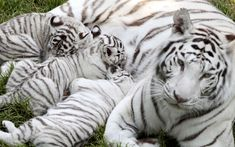Lisa, the tiger mother, and her three two-month-old baby white tiger cubs rest on the grass at the Cerza zoo in Hermival-les-Vaux, northwestern FrancePicture: CHARLY TRIBALLEAU/AFP/Getty Images