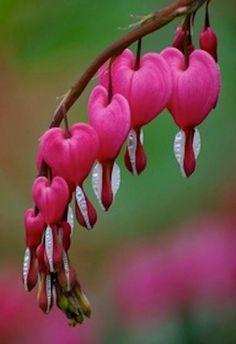 Bleeding Hearts - tränendes Herz - heart with tear drop