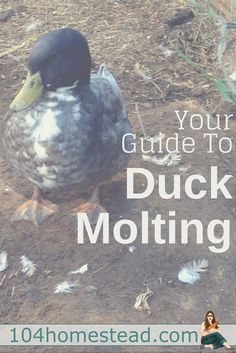Your Guide to Duck Molts - Ducks actually have a couple of molting phases and each one looks different. Learn about spring, summer and fall molts. Backyard Ducks, Backyard Poultry, Backyard Farming, Backyard Birds, Chickens Backyard, Quail Coop, Duck Coop, Keeping Chickens, Raising Chickens
