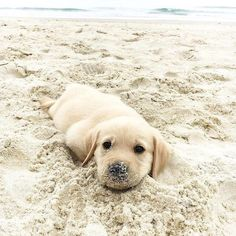 pinterest: @AWIPmegan ==> visit http://www.amazingdogtales.com/gifts-for-labrador-retriever-lovers/ for cool labbie merchandise