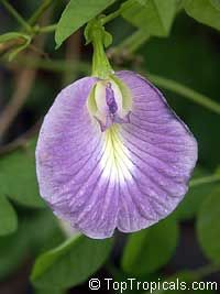 Clitoria ternatea, Butterfly Pea, Asian Pigeonwings  Click to see full-size image