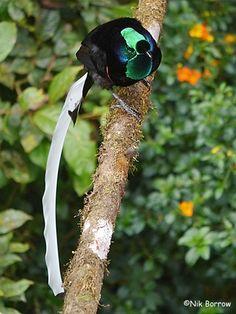 Resultado de imagen para astrapia bird of paradise - Buscar con Google
