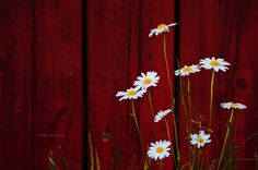 Red garage and oxeye by just.like.that., via Flickr.  Photo by Patric Ivan.