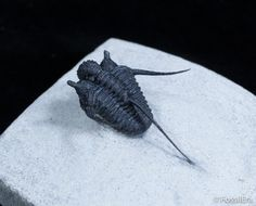 A very well prepared example of the scarcer long-spined species of Cyphaspis from Morocco.