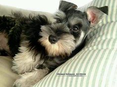 Minature Schnauzer I have one of this I love them