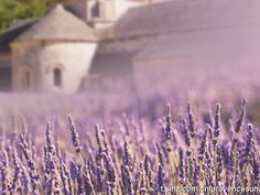Provence's Lavender in france #france